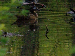 The wood duck family, not terribly cooperative when it comes to pictures.